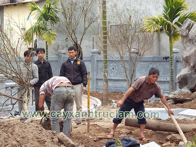 Công nhân Trúc Lâm đang trồng cây Mai Đào