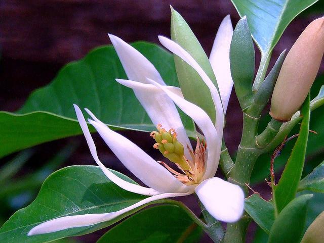 Ngọc Lan Hoa Trắng