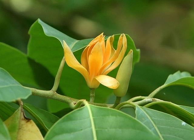 Ngọc Lan Hoa Vàng