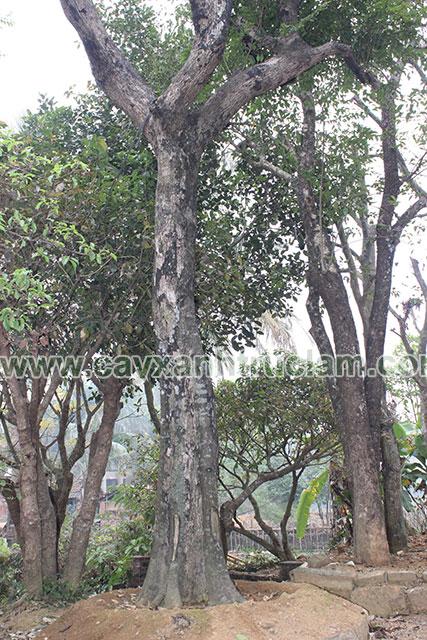 Cây Thị Được Ươm Tại Vườn Trúc Lâm