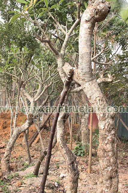 Cây Đại Hoa Trắng Được Ươm Tại Vườn Trúc Lâm