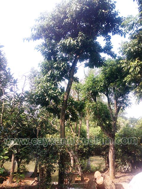 Cây Sang được ươm tại vườn cây xanh